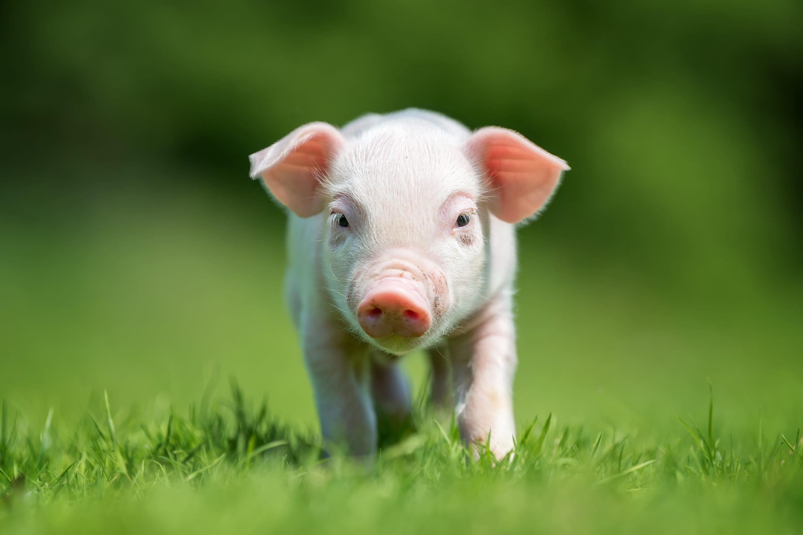 newborn-piglet-on-spring-green-grass-JP63VHZ-scaled-min.jpg